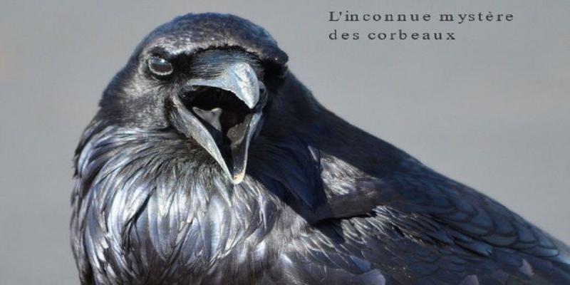 Comme corbeaux,ces oiseaux au plumage noir ont une mauvaise réputation. Malheureusement été persécuté depuis longtemps par les humains.